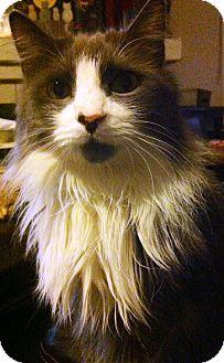 Domestic Longhair Cat for adoption in Lake Elsinore, California - Rocket