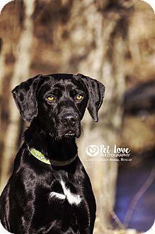 Labrador Retriever Mix Dog for adoption in Cincinnati, Ohio - Buster $14 ADOPTION FEE