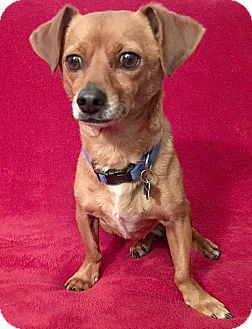 Dachshund/Terrier (Unknown Type, Small) Mix Dog for adoption in San Francisco, California - Willard