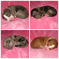 Adopt A Pet :: Puppies and more puppies!!! - Stevens Point, WI