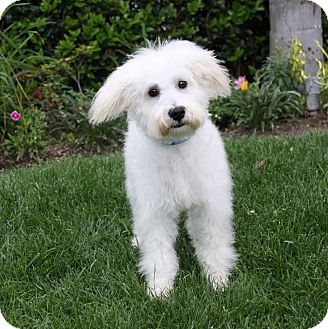 Goldendoodle Mix Puppy for adoption in Newport Beach, California - JACK