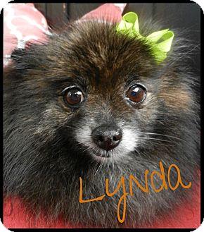 Pomeranian Dog for adoption in Orange, California - Lynda