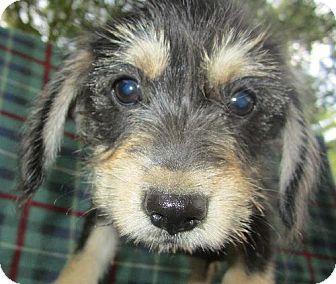 Westie, West Highland White Terrier Mix Puppy for adoption in Waldron, Arkansas - CAMERON SCOTT