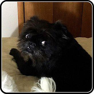 Affenpinscher Dog for adoption in Denver, Colorado - OSCAR - ADOPTION PENDING