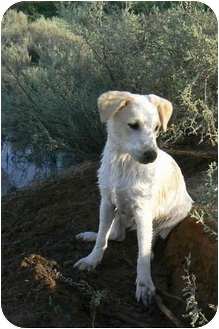 Labrador Retriever/Jack Russell Terrier Mix Puppy for adoption in Thatcher, Arizona - Sterling