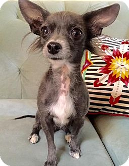 Chinese Crested/Xoloitzcuintle/Mexican Hairless Mix Dog for adoption in Los Angeles, California - Maddie 5 lbs