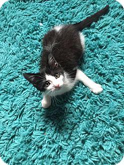 Domestic Shorthair Kitten for adoption in Battle Creek, Michigan - Dylan