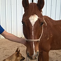 Quarterhorse Mix for adoption in Hitchcock, Texas - Cable