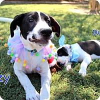 Adopt A Pet :: Izzy - South Dennis, MA