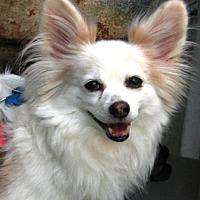 Adopt A Pet :: Beau  9 yrs (In GA) - Marietta, GA