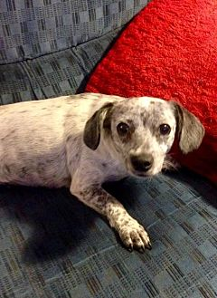 Dachshund Mix Dog for adoption in Colton, California - BLUE