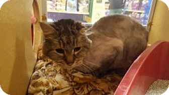 Domestic Longhair Cat for adoption in McHenry, Illinois - Simon