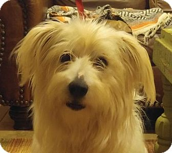Terrier (Unknown Type, Medium)/Wheaten Terrier Mix Dog for adoption in Hagerstown, Maryland - Calamity