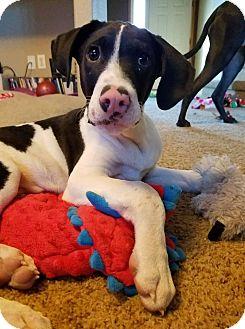 Pointer Mix Dog for adoption in Aurora, Colorado - Taylor