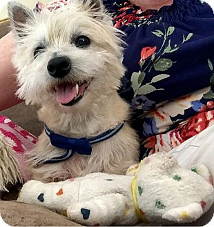 Westie, West Highland White Terrier Dog for adoption in Oviedo, Florida - Hummer