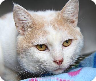 Domestic Shorthair Cat for adoption in Marietta, Ohio - Noodles (Neutered)