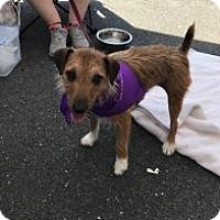 Adopt A Pet :: Patty - Parsippany, NJ