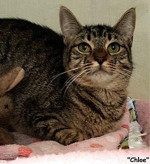 Domestic Shorthair Cat for adoption in Key Largo, Florida - Chloe