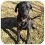 Photo 1 - Great Dane Dog for adoption in Stockton, Missouri - MARMADUKE