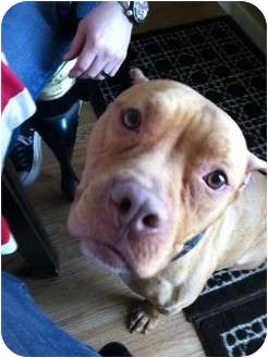 Dogue de Bordeaux/American Pit Bull Terrier Mix Dog for adoption in Raritan, New Jersey - Red