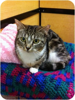 Domestic Shorthair Cat for adoption in Farmingdale, New York - Shelby