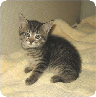 Domestic Shorthair Kitten for adoption in Hamilton, New Jersey - FROGGY