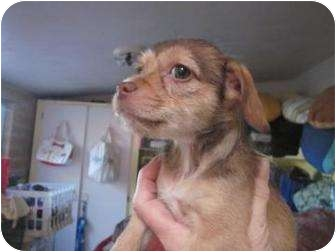 Terrier (Unknown Type, Small)/Chihuahua Mix Puppy for adoption in Tucson, Arizona - Caramel