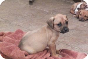 Boxer/Bulldog Mix Puppy for adoption in Mary Esther, Florida - Max