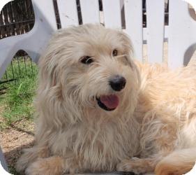 Wheaten Terrier/English Sheepdog Mix Dog for adoption in Corona, California - HANDSOME BENGIE