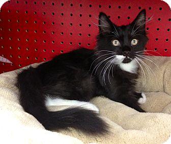 Maine Coon Kitten for adoption in Sugar Land, Texas - -Diesel