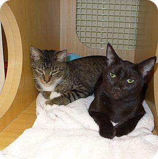 Domestic Shorthair Cat for adoption in Jacksonville, Florida - Rascal