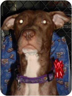 American Staffordshire Terrier Mix Dog for adoption in East Rockaway, New York - Holly