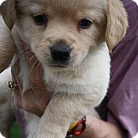 Adopt A Pet :: MacBeth - Broomfield, CO