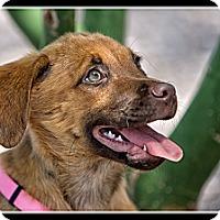 Adopt A Pet :: Butterscotch - Wickenburg, AZ
