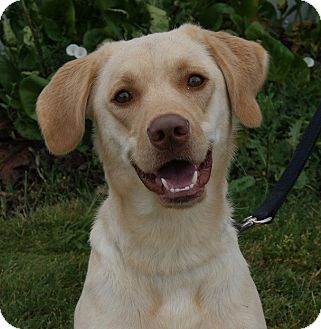 Labrador Retriever Mix Dog for adoption in Monroe, Michigan - Tanner