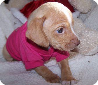 Dachshund/Terrier (Unknown Type, Small) Mix Puppy for adoption in Greensboro, Georgia - Rain