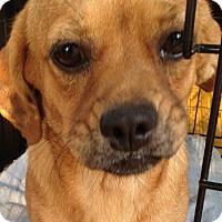 Adopt A Pet :: *Cricket - PENDING - Westport, CT