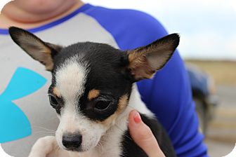 Chihuahua Puppy for adoption in Hershey, Pennsylvania - Sunny