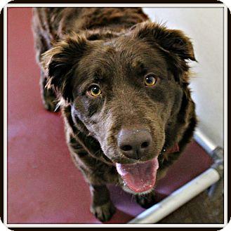 Chesapeake Bay Retriever/Labrador Retriever Mix Dog for adoption in Dunkirk, New York - Karma