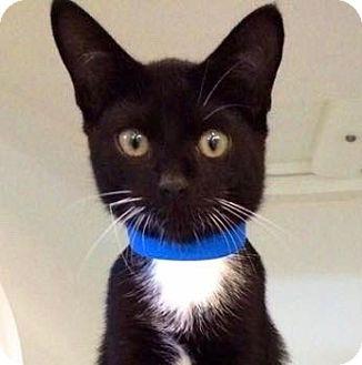Domestic Shorthair Kitten for adoption in Smithtown, New York - Aaren
