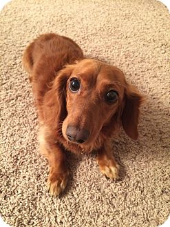 Dachshund Mix Dog for adoption in Marcellus, Michigan - Moxie-Adoption Pending