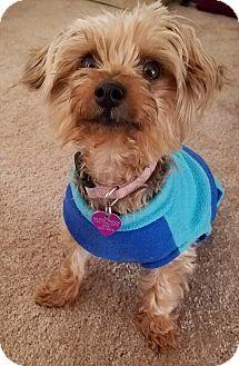 Yorkie, Yorkshire Terrier/Skye Terrier Mix Dog for adoption in Covina, California - Olivia