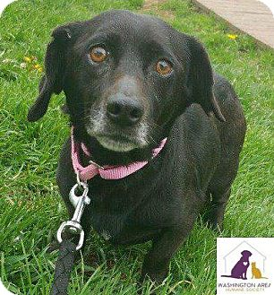 Dachshund/Labrador Retriever Mix Dog for adoption in Eighty Four, Pennsylvania - Mia
