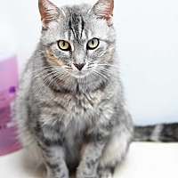 Adopt A Pet :: Lilac - Baltimore, MD