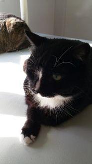 Domestic Shorthair/Domestic Shorthair Mix Cat for adoption in Winona, Minnesota - Midnight