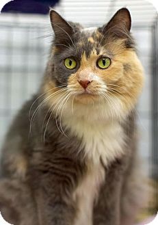 Domestic Longhair Cat for adoption in Troy, Michigan - Talula Rose