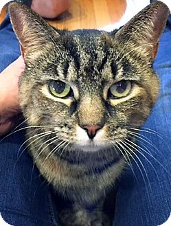 Domestic Shorthair Cat for adoption in Fairfax Station, Virginia - Putsi