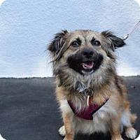 Adopt A Pet :: Pippie - Los Angeles, CA