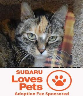 Domestic Shorthair/Domestic Shorthair Mix Cat for adoption in Eugene, Oregon - Penny