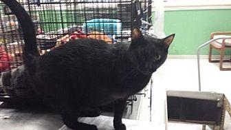 Domestic Shorthair Cat for adoption in Fresno, California - Roberto